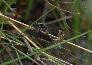 Black Darter Mating Wheel