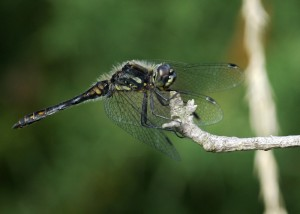 Male Black Darter