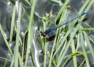 Male Small Red-eyed Damselfly