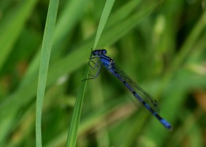 Male Common Blue Damselfly