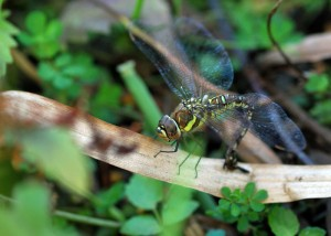 Ovipositing Female Migrant Hawker