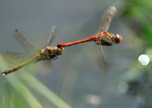 Ovipositing Common Darters