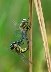 Migrant Hawker Mating Wheel