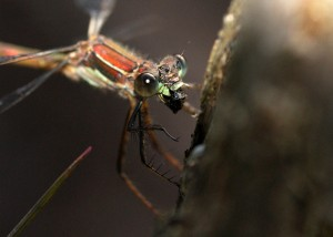 Feeding Female Emerald Damselfly