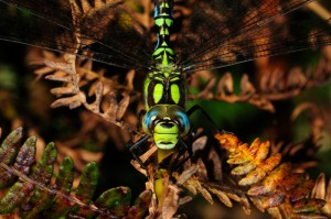 Male Southern Hawker