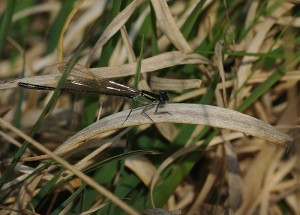Teneral Blue-tailed Damselfly