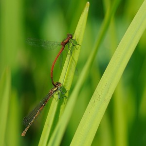Large Red Damselflies (Pair in cop)