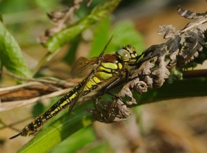Hairy Dragonfly (Female)