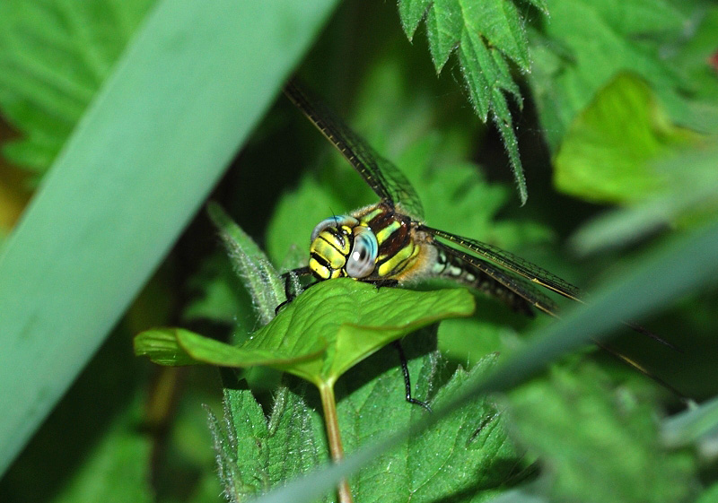Hairy Dragonfly - male