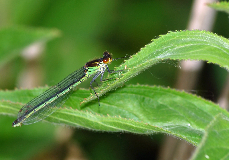 Red-eyed Damselfly - Female