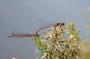Large Red Damselflies