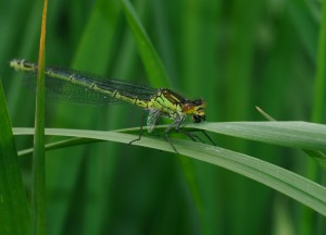 Female Red-eyed Damselfly