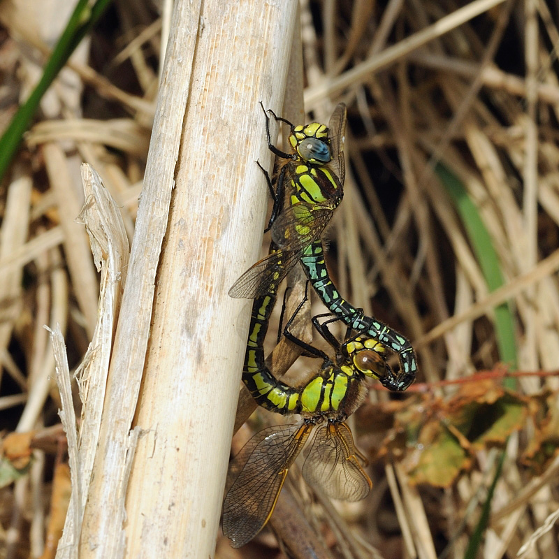 Hairy Dragonflies - Breeding Pair