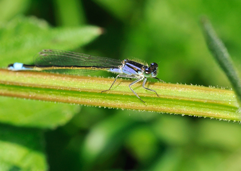 Blue-tailed Damselfly - Female