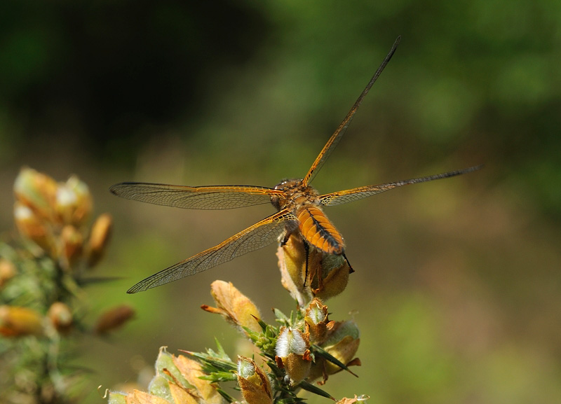 Scarce Chaser