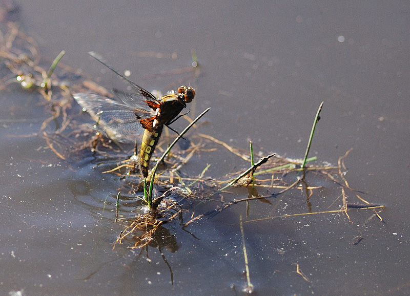 Broad-bodied Chaser - Female Ovipositing
