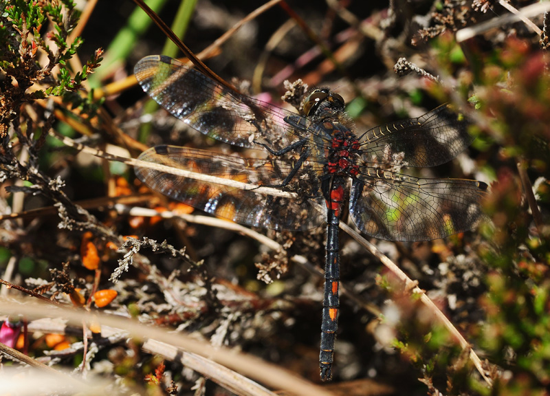 White-faced Darter - Male