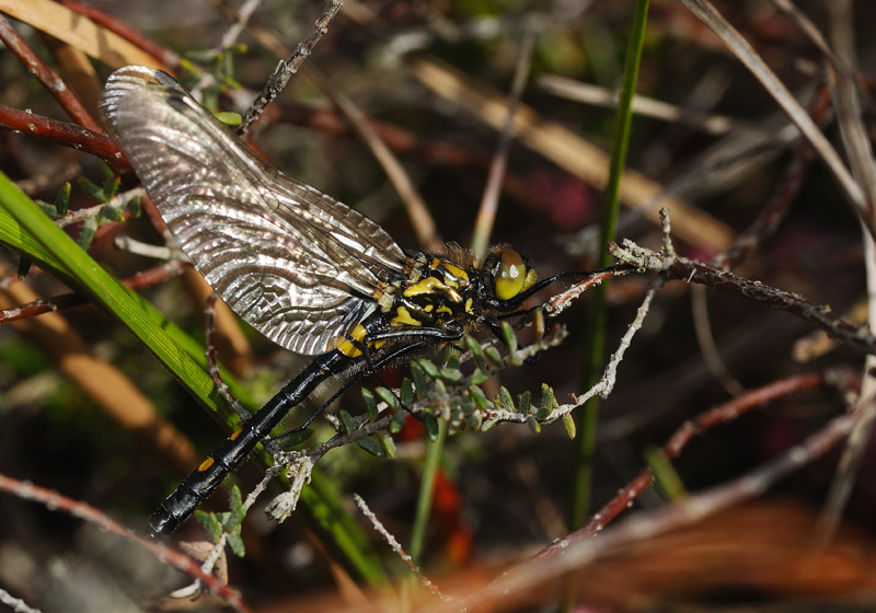 White-faced Darter - Freshly Emerged Female