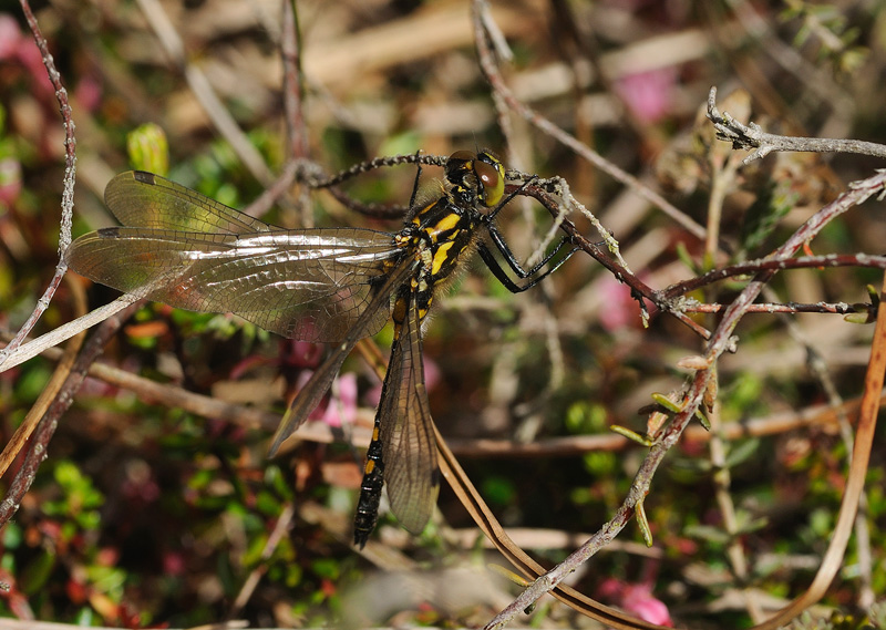 White-faced Darter - Freshly-emerged Female