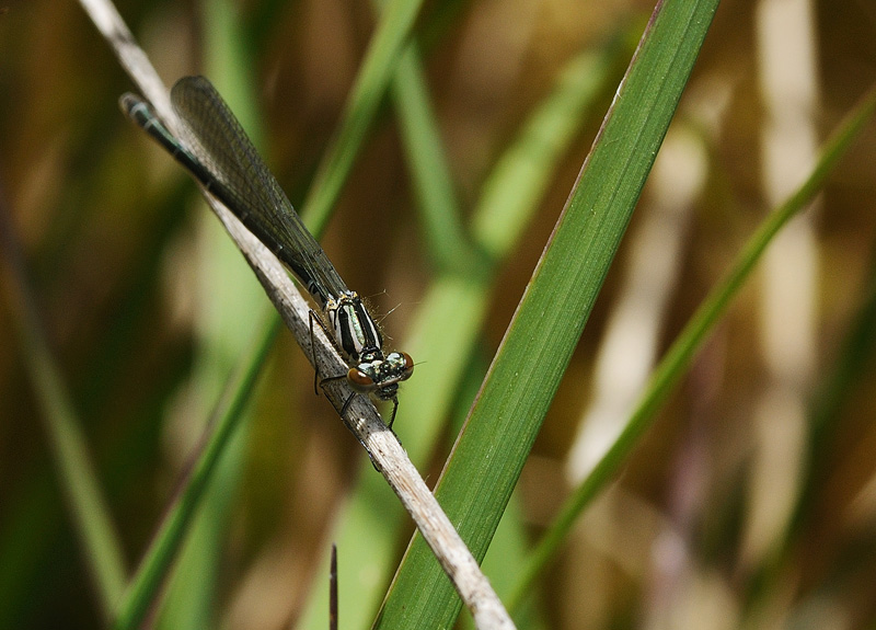 Common Blue Damselfly - Teneral