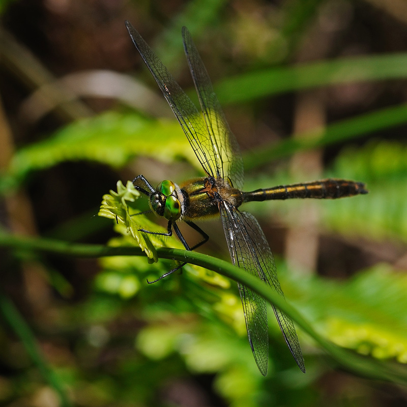 Downy Emerald - Male