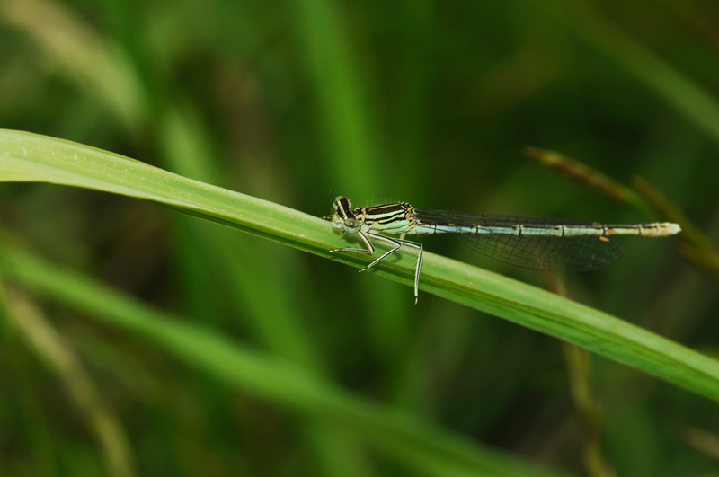 White-legged Damselfly - Male