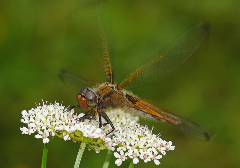 Scarce Chaser - Immature Male