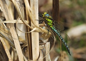 Male Hairy Dragonfly