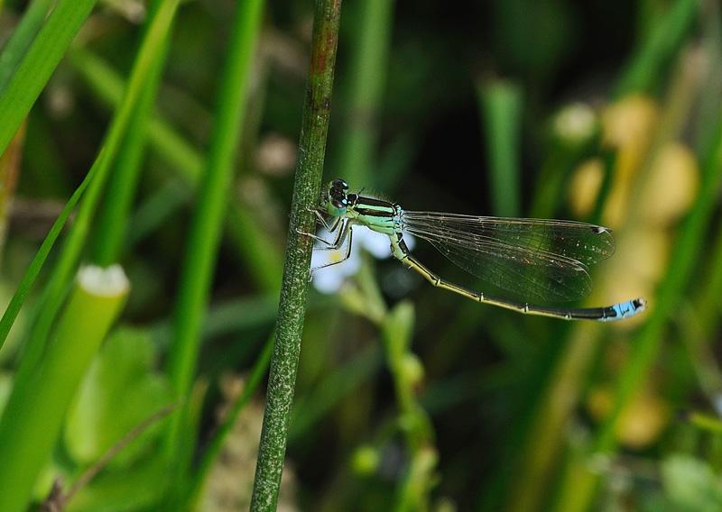 Scarce Blue-tailed Damselfly - Male