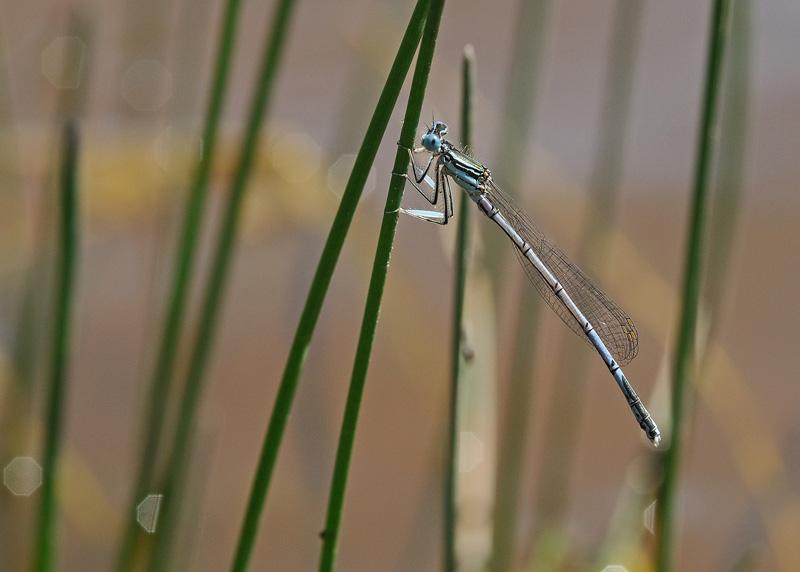 White-legged Damselfly - Male