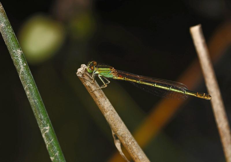 Scarce Blue-tailed Damselfly - Female