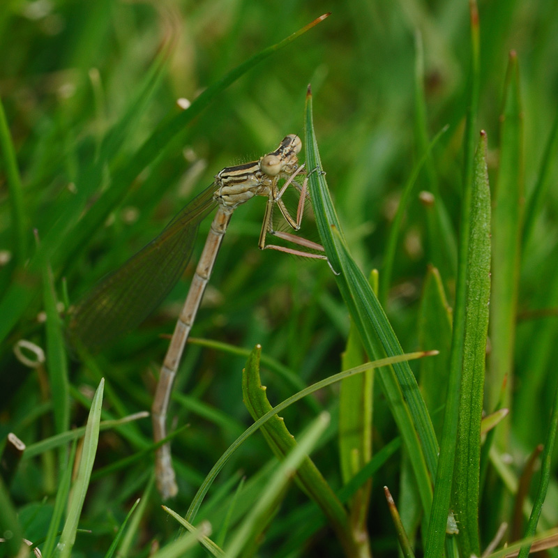 White-legged Damselfly - Teneral