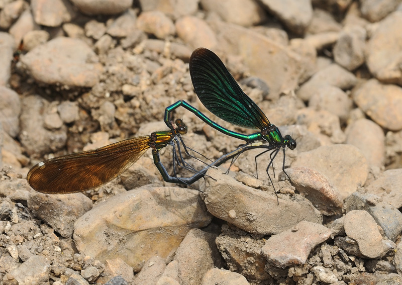 Beautiful Demoiselles - Mating Pair
