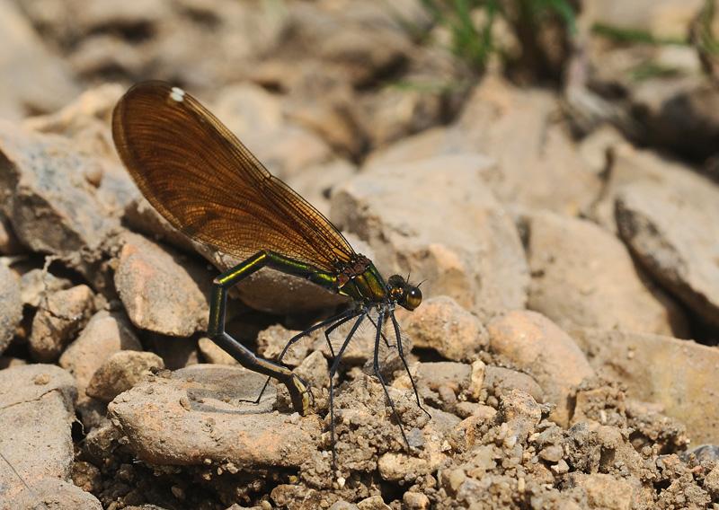 Beautiful Demoiselle - Female ovipositing