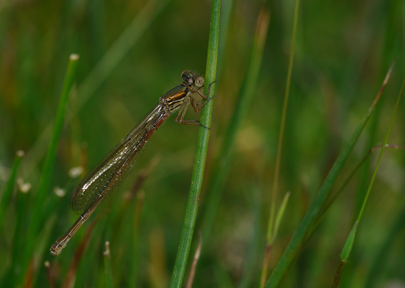 Large Red Damselfly - Teneral Male