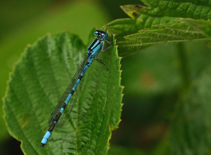 Common Blue Damselfy - Male