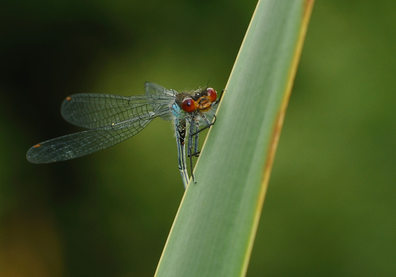 Red-eyed Damselfy - Male