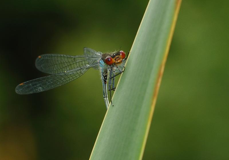 Red-eyed Damselfy - Male