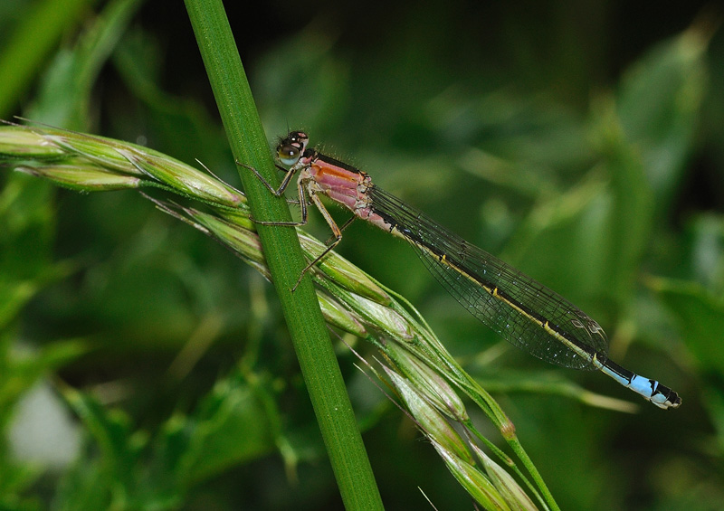 Blue-tailed Damselfly - Female - Rufescens Phase
