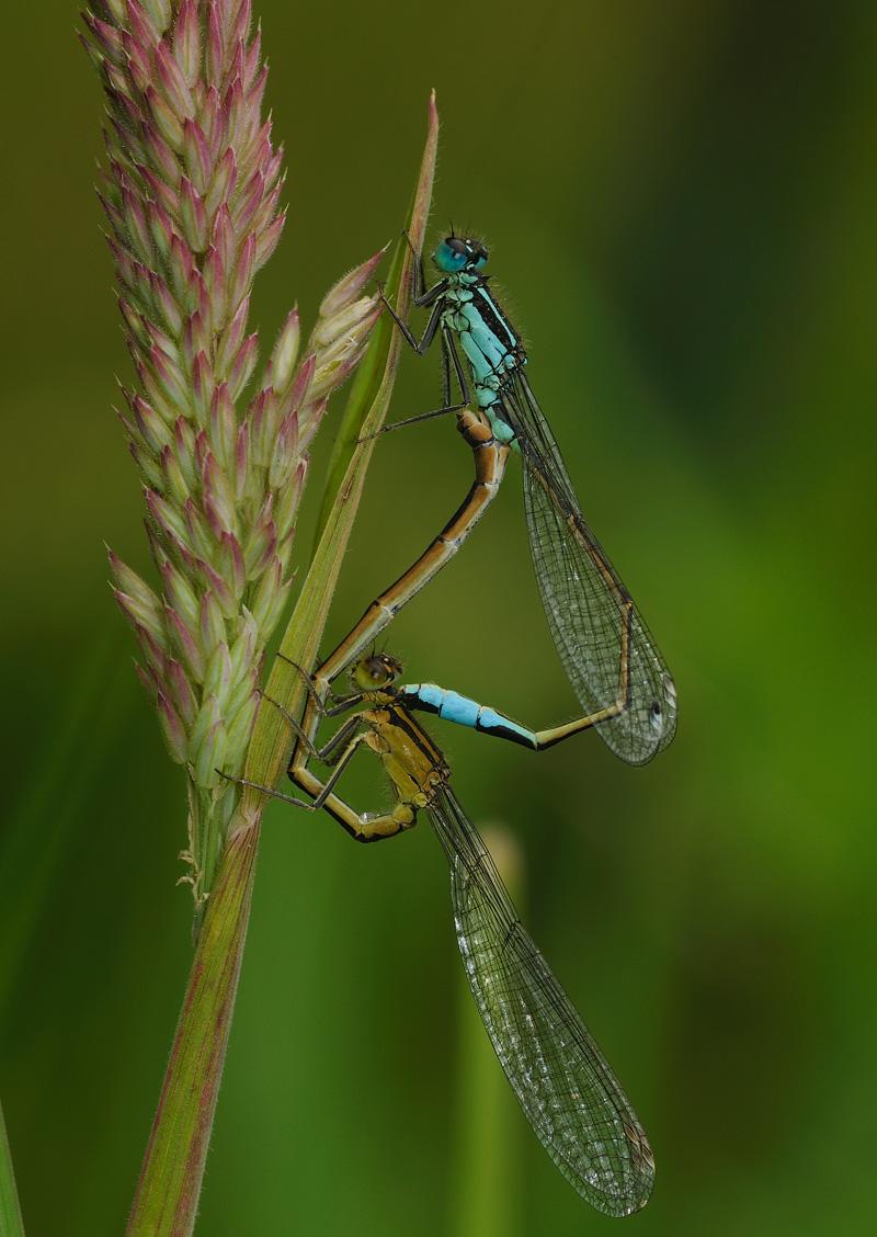 Blue-tailed Damselflies - Mating Pair