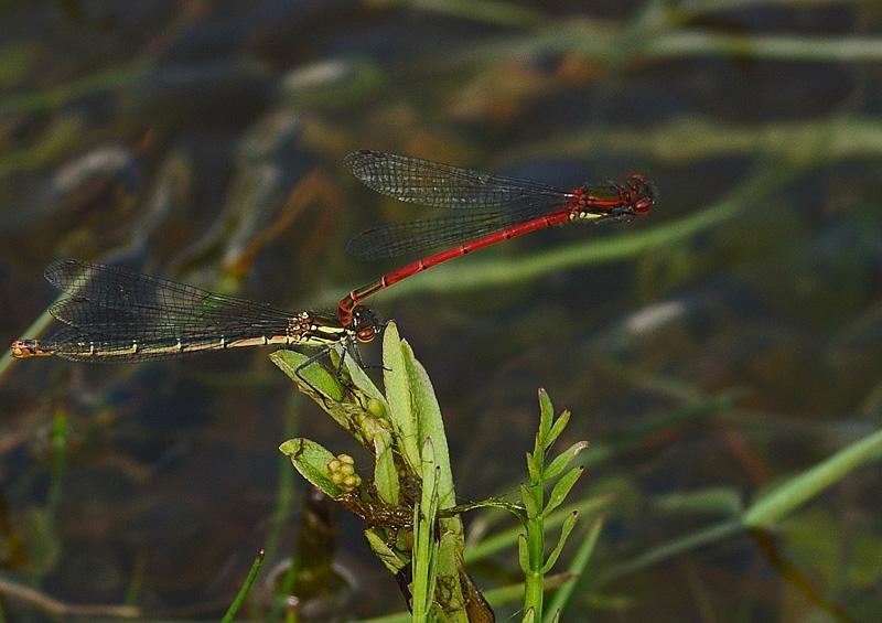 Large Red Damselflies - Pair in tandem