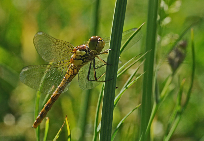 Common Darter - Teneral