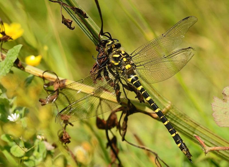 Golden-ringed Dragonfly - Female