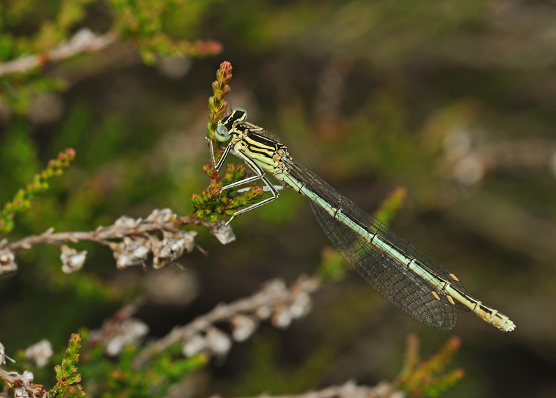 White-legged Damselfly - female