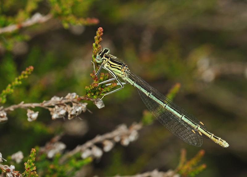 White-legged Damselfly - female