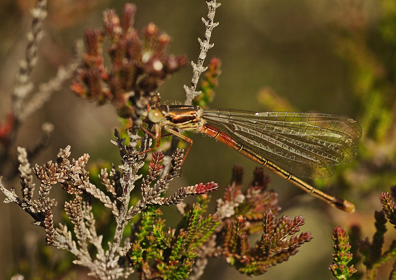 Small Red Damselfly - Teneral