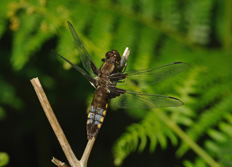 Broad-bodeid Chaser - Male
