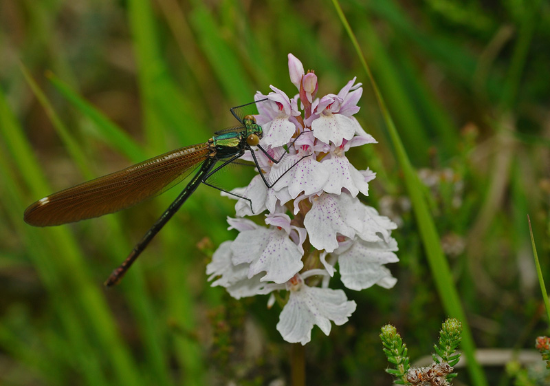 Beautiful Demoiselle - Teneral