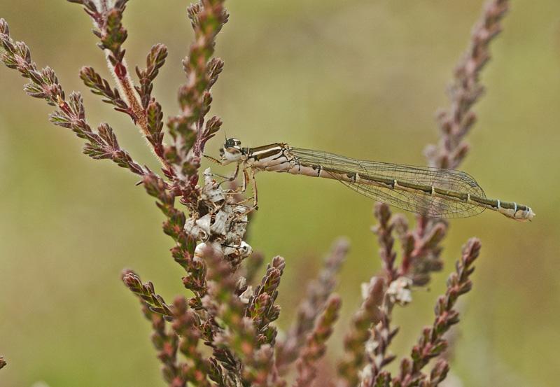 Southern Damselfly - Teneral Female