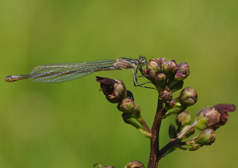Blue-tailed Damselfly - Female Rufescens phase